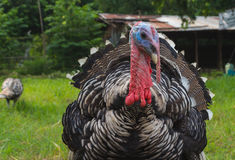 Closeup turkey face. Close up male turkey face while strutting Royalty Free Stock Photos