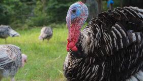 Closeup turkey face Royalty Free Stock Images