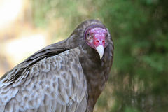 Closeup of a Turkey Vulture Bird Royalty Free Stock Photography