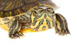 Closeup of a turtle Stock Photography
