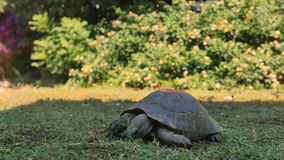Closeup of turtle feeding on grass. Closeup of turtle eating grass stock video footage