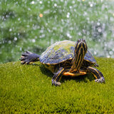 Closeup of a turtle in a fountain Stock Photography