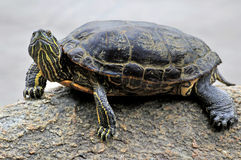 Closeup of a turtle resting on a rock in a lake. Vancouver, canada stock images