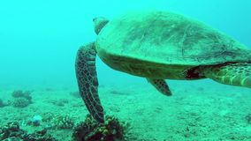 Closeup of turtle swimming. By coral stock video footage