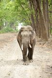 Closeup of tusker and beautiful green forest Royalty Free Stock Images