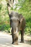 Closeup of a tusker in Jhirna forest of Jim Corbett Stock Image