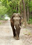 Closeup of tusker on the mud road Royalty Free Stock Photos