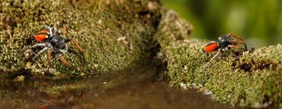 Closeup två som hoppar spindlar som är bekanta som Philaeus chrysops, kör över vatten på mossagräsplan Royaltyfria Bilder