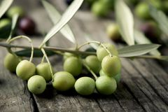 Arbequina olives from Spain. Closeup of a twig of arbequina olive tree from Catalonia, Spain, on a wooden rustic table Stock Photography