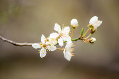 Closeup of a twig with blooming white flowers Royalty Free Stock Photography