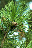 Closeup twig with fir cone Royalty Free Stock Photography