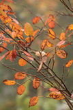 Twig with autumn leaves. Closeup of twig with orange autumn leaves on blurry background Royalty Free Stock Photography