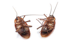 Closeup of twin dead cockroaches. Over white stock image