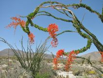 Closeup of a twisting brilliantly blooming ocotillo tree in the Southern California desert in spring royalty free stock photos