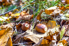Closeup of two acorns Royalty Free Stock Images