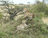 Closeup of two adult cheetah resting on top of a grass covered mound Stock Photo