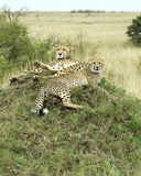 Closeup of two adult cheetah resting on top of a grass covered mound Stock Images