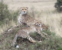 Closeup of two adult cheetah resting on top of a grass covered mound Stock Photography