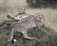 Closeup of two adult cheetah resting on top of a grass covered mound Royalty Free Stock Photography