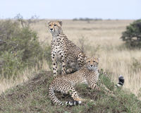 Closeup of two adult cheetah resting on top of a grass covered mound, one sitting and one lying. In the Masai Mara National Reserve, Kenya Royalty Free Stock Photography