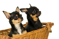 Closeup of two adult chihuahua dog sitting in a basket Royalty Free Stock Images