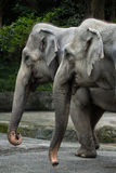 Closeup of two Asian elephants Stock Image