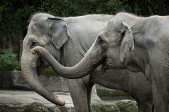 Closeup of two Asian elephants Stock Photography