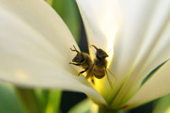 Closeup of two bees in one blossom by daylight Royalty Free Stock Photos