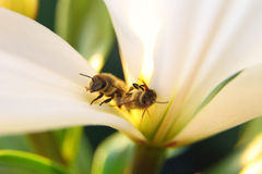 Closeup of two bees in one blossom by daylight Royalty Free Stock Photo