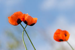 Closeup two blossoming red poppies on white background. Royalty Free Stock Photo