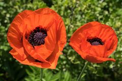 Closeup of two bright orange colored poppy flowers stock photo