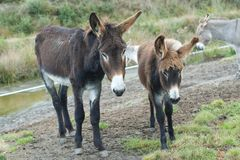 Donkey mother and foal Royalty Free Stock Photos