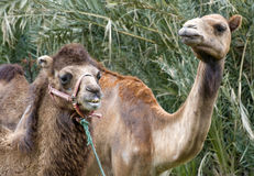 Closeup of  Two Camels Head and Shoulders Royalty Free Stock Photos