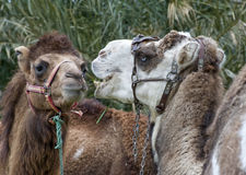 Closeup of  Two Camels Head and Shoulders Royalty Free Stock Image