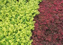 Closeup of the two color shrub. Stock Photo