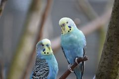 Closeup of two colorful budgies sitting on a tree branch in a park in Kassel, Germany. Closeup of two colorful budgies sitting on a tree branch in a park in Royalty Free Stock Photo
