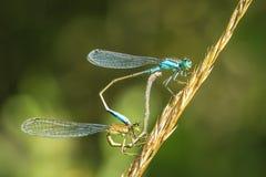 Closeup of two common bluetail Ischnura elegans damselflies mati royalty free stock images