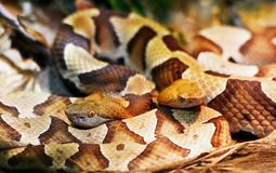 A closeup of two copperhead snakes. A closeup of two copperhead snakes coiled up together displaying a beautiful pattern of color royalty free stock photography