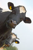 Closeup of two cow's Stock Images