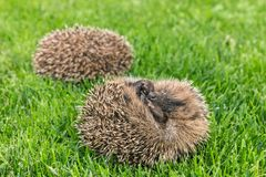 Two curled up baby hedgehogs sleeping on grass Stock Image