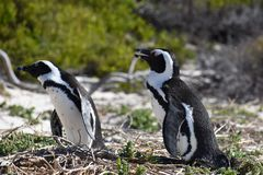 Closeup of two cute Penguins on the Boulders Beach in Cape Town in South Africa. Closeup of two cute Penguins on the wonderful Boulders Beach in Cape Town in stock photos