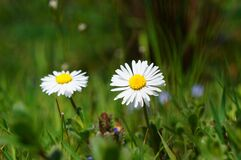 Closeup of two daisies Stock Photos
