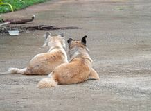 Close up Two Dogs Lie Down on The Ground royalty free stock images