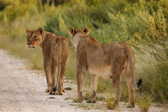 Closeup of two female lions walking along road near water hole Stock Image
