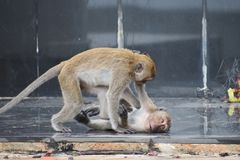 Closeup of two fighting and playing monkeys in Hua Hin, Thailand stock photos
