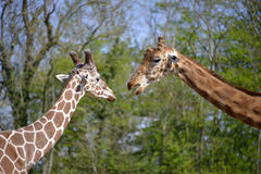 Closeup two giraffes Royalty Free Stock Images