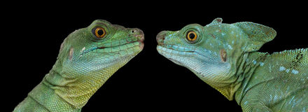 Closeup of Two Green Crested Basilisk or jesus christ lizard. Closeup Two Green Crested Basilisk or jesus christ lizards, male and famele isolated on Black stock photography