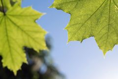 Closeup of two green leaves a maple Royalty Free Stock Photos