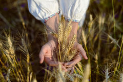 Closeup of two hands holding golden wheat spikes Stock Photo