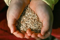 Closeup of two hands holding pile of brown jasmine rice in the husks. stock image
